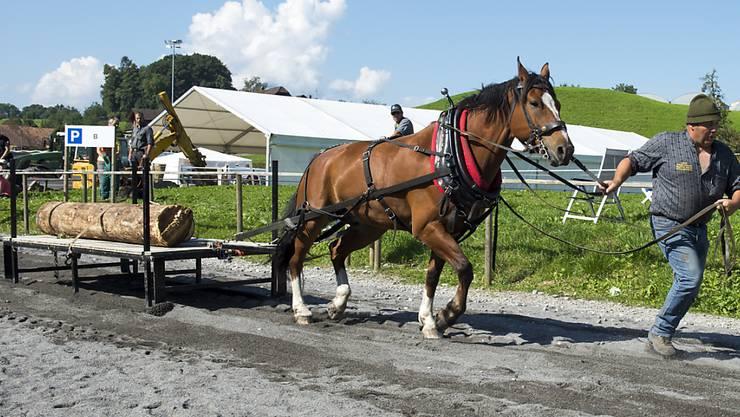 Zugpferde werden heute nur noch selten zur Arbeit eingesetzt. In der Stadt Freiburg werden Pferde im Januar beim Abtransport von ausgedienten Weihnachtsbäumen mithelfen (Themenbild).