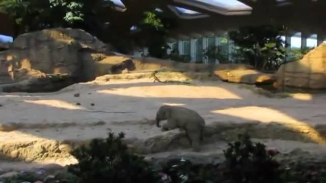 Baby-Elefant Omysha rutscht aus