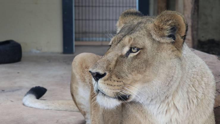 Löwin Mali war schon einmal in einem Schweizer Zoo zuhause.