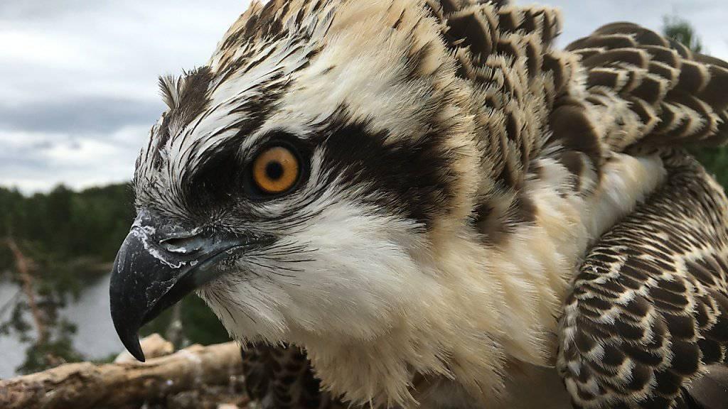 Dieser junge Fischadler ist für ein Wiederansiedlungsprojekt aus Norwegen in die Schweiz gebracht worden.
