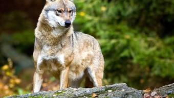 Das Bundesamt für Umwelt hält die Abschussverfügung für einen Wolf im Wallis für nicht gesetzeskonform. (Symbolbild)