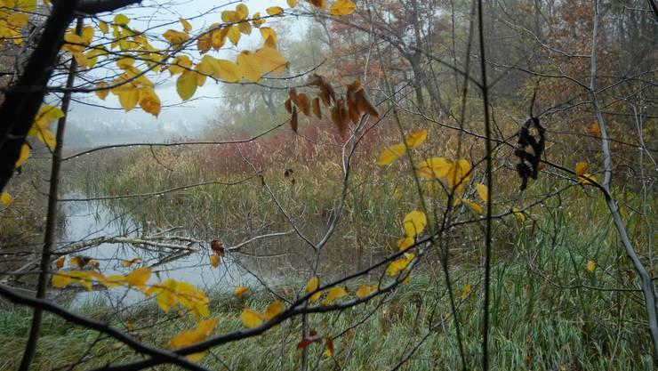 Verlandet: Wo jetzt Schilf und Bäume spriessen, war floss früher ein Seitenarm der Limmat. (Bild: Walter Schwager)