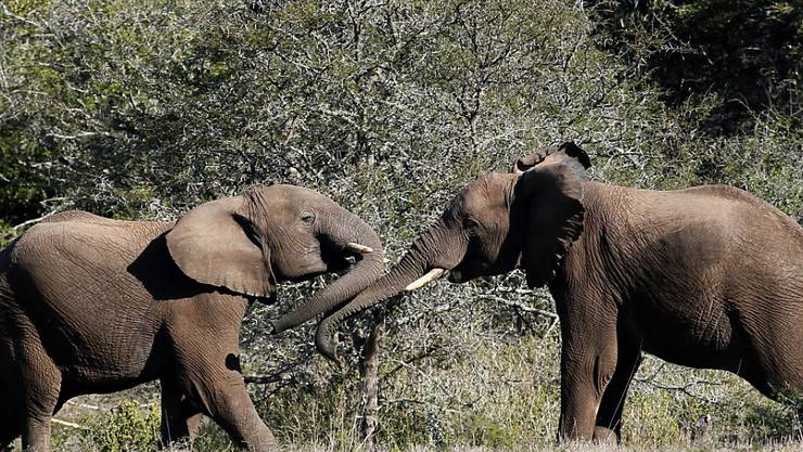 Wilderei setzt den Elefanten in Afrika weiterhin stark zu. Das Überleben der Dickhäuter bleibt gefährdet. (Archivbild)