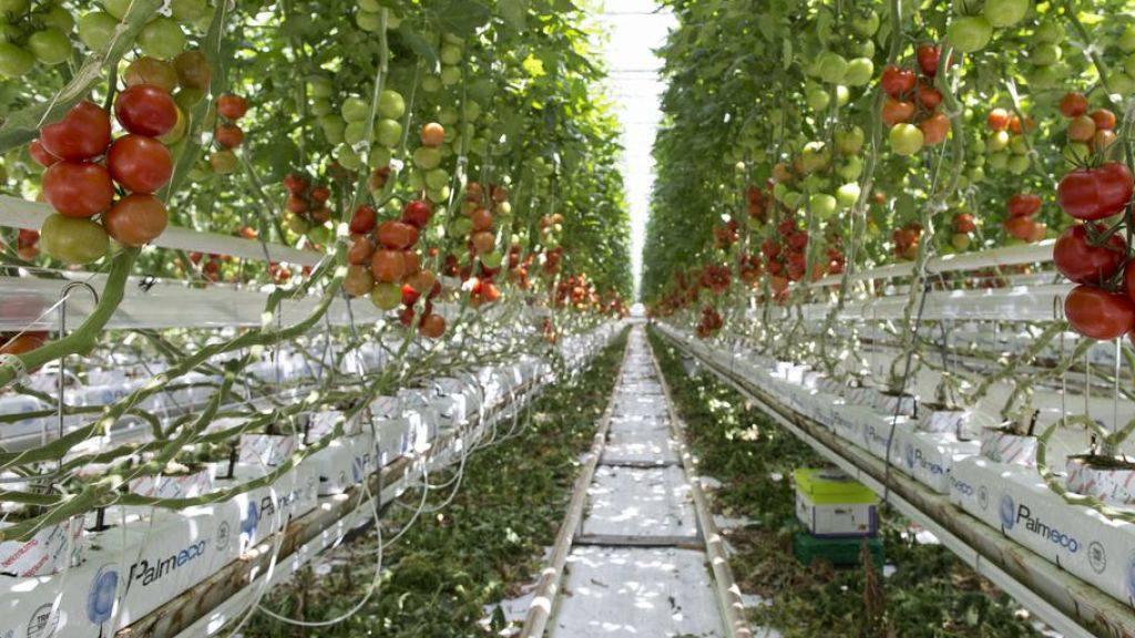 Tomaten, die ausserhalb des Bodens wachsen, müssen künftig nicht mehr als Hors-Sol-Produkt gekennzeichnet werden. (Symbolbild)