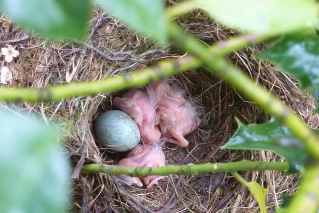 Am 3. Mai schlüpften die ersten drei Jungen.
