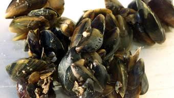Muscheln halten sich mit Fäden aus Muschelseide (Byssus) aneinander oder am Untergrund fest. Die Eigenschaften der Muschelseide sind auch für medizinische Klebstoffe hochinteressant. (Archivbild)