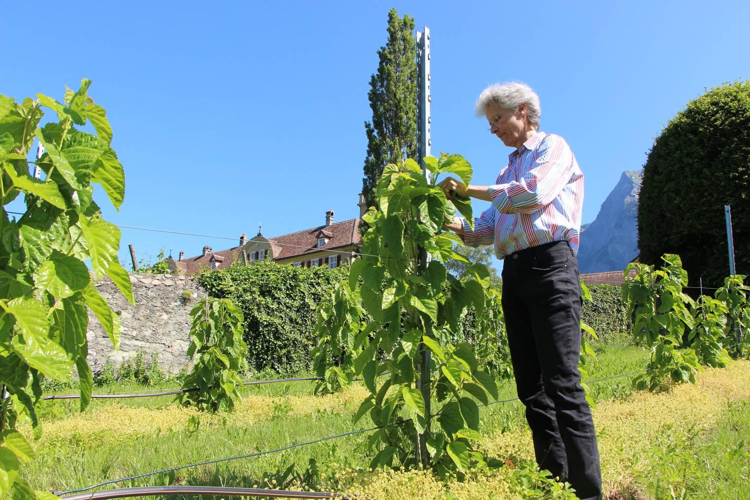 Helene von Gugelberg zeigt mir die Maulbeerbäume, im Hintergrund sieht man Schloss Salenegg. (Bild: FM1Today/Krisztina Scherrer)