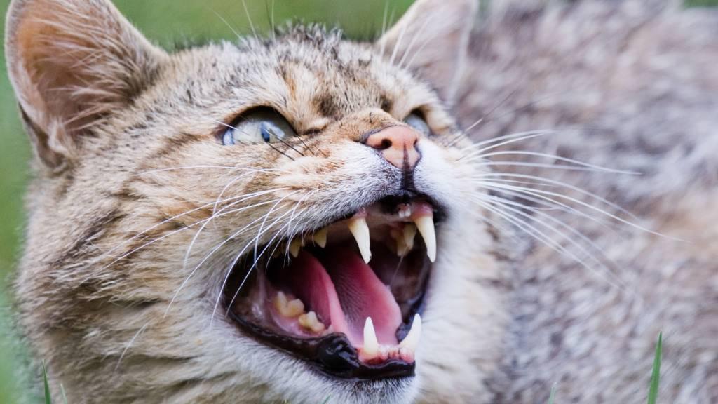 Hauskatzen bedrohen den Fortbestand der Europäischen Wildkatze