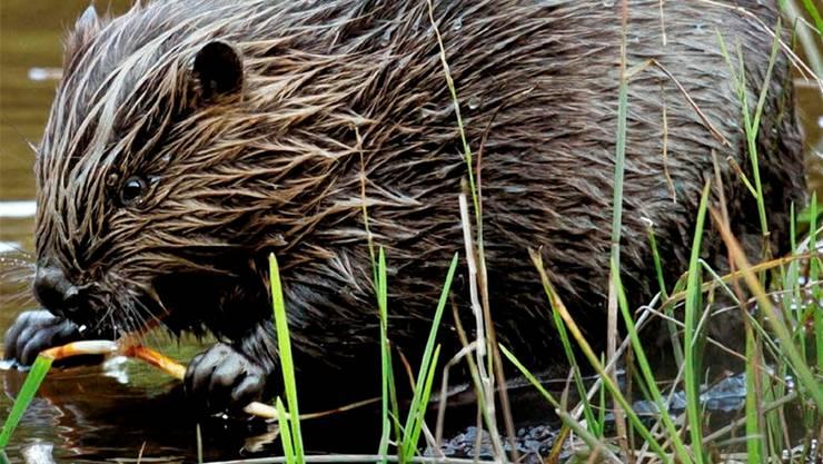 Die einst in der Schweiz ausgerotteten Säugetiere sind geschützt. (Archiv)