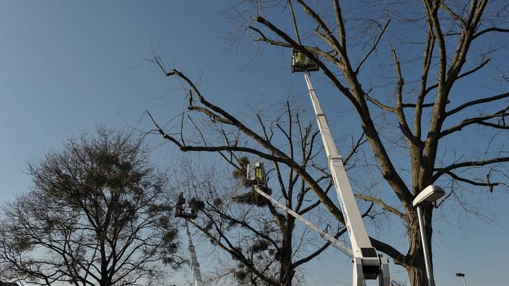 Mitarbeiter der Stadtgärtnerei schneiden Silber-Ahorn-Bäume bei den Drei Linden im Kleinbasel.