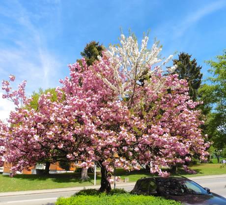 Dieser Baum blüht prächtig in rosa wie auch in weiss.