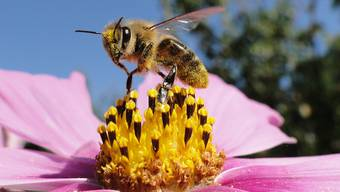 Eine Biene bei der Nahrungsaufnahme.