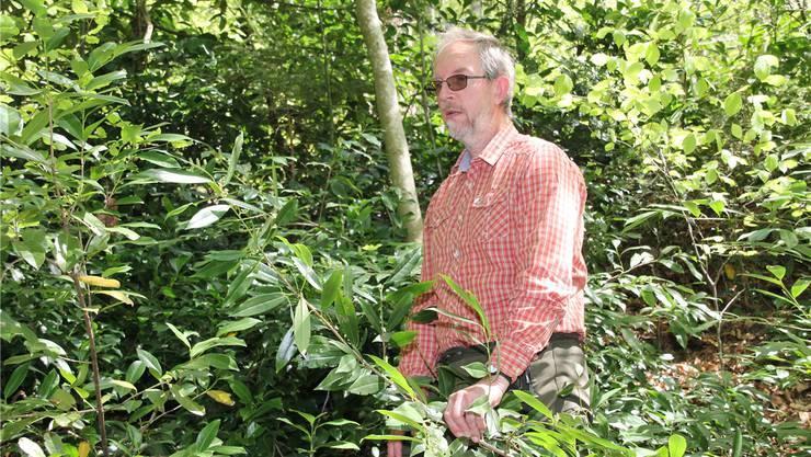Förster Markus Wildi, Unterkulm, mit Kirschlorbeer.