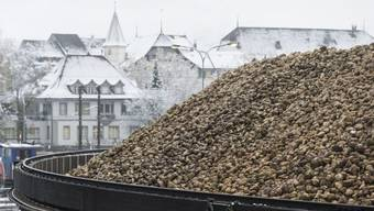 Zuckerrüben liegen in der Zuckerfabrik in Aarberg für die Verarbeitung bereit.