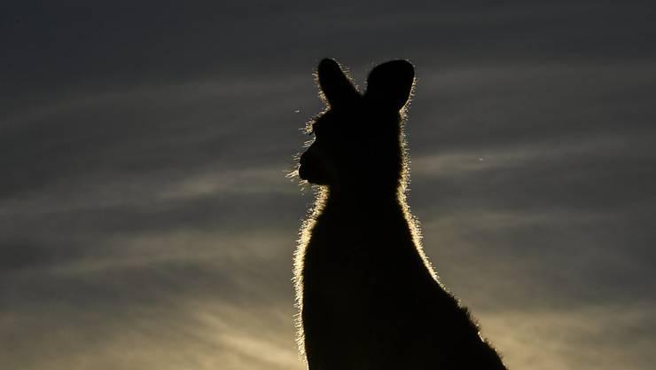 Das berühmte Känguru Roger in Australien starb nach zwölf Jahren an Altersschwäche. (Symbolbild)