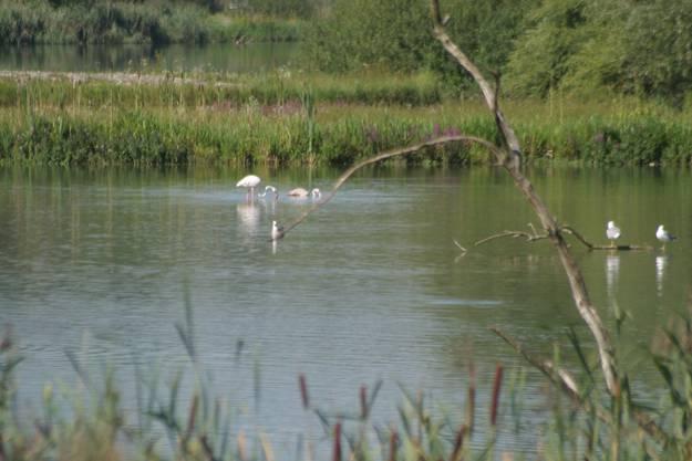 Flamingo auf dem Flachsee