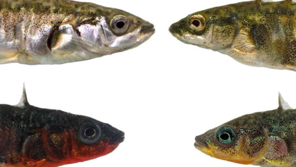 Vertreter des Dreistachligen Stichlings aus dem Bodensee (links) und den umliegenden Bächen (rechts). Die beiden Ökotypen unterscheiden sich unter anderem in Körpergrösse, Färbung der Weibchen (oben) und Brutfärbung der Männchen (unten).