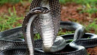 Die Zöllner in Hongkong entdeckten unter anderem 200 lebendige Kobras (Symbolbild)