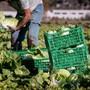 Mit der Lockerung will der Bundesrat unter anderem Praktika in der Landwirtschaft wieder ermöglichen. (Symbolbild)