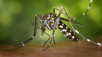 Die Tigermücke gilt als ausgesprochen aggressiv und ist eine potentielle Krankheitsüberträgerin.