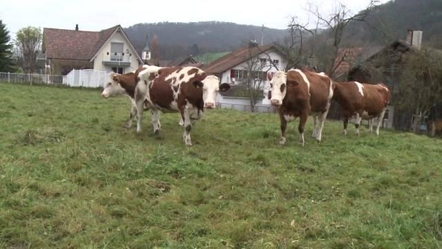 Polizeiaufgebot in Solothurn wegen Kuhglocken