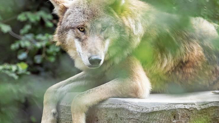 Seit 2019 gibt es am Col du Marchairaz ein Wolfsrudel.