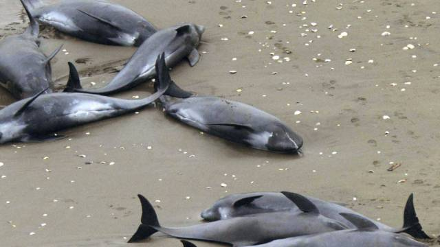 Am Freitag an der japanischen Pazifikküste gestrandete Delfine