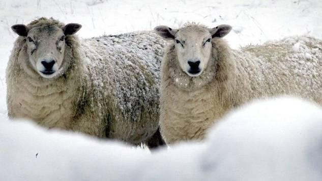 Der Bauer liess die Schafe schutzlos auf der Weide, als Schnee lag. (Symbolbild)