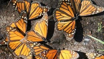Monarchfalter fliegen mehr als 4000 Kilometer