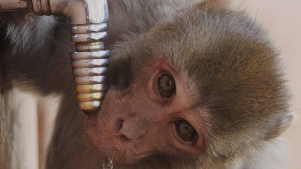 Ein Makake im indischen Shimla. Er und seine Artgenossen haben nach einer kurzen Lockdown-Pause, während der es in den verlassenen Strassen wenig zu stibitzen gab, ihr schändliches Tun wieder aufgenommen: Sie brechen in Häuser ein, fressen den Kühlschrank leer und beklauen Touristen. (Archivbild)