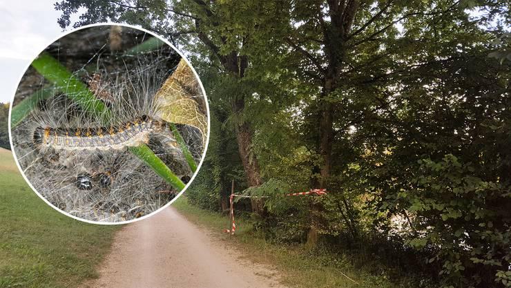 Auf dem Baum zwischen Auenstein und Biberstein haben sich Eichen-Prozessionsspinner niedergelassen.