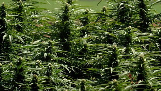 Tausende Hanfpflanzen beschlagnahmt (Symbolbild)