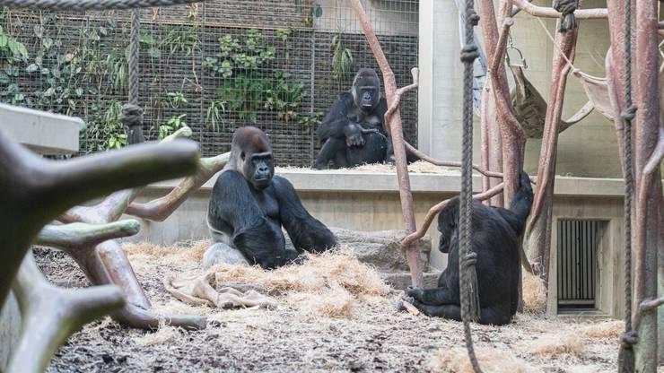 In der Natur sind Gorillas bedroht. Ihre Lebensraum wird zerstört und sie werden gejagt.