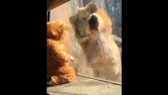 Löwe trifft Löwenbaby – und ist völlig fasziniert.