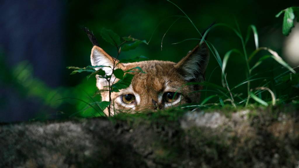 Junges Luchsweibchen lässt auf Nachwuchs im Wildnispark Zürich hoffen
