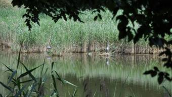 Das Flachmoor zwischen Limmat und Industriegebiet Silbern ist umstritten. Den Naturschützern gehen die geplanten Massnahmen nicht weit genug.