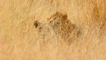 Löwen in Südafrika: Beim Krüger-Park ist ein ganzes Rudel entkommen. (Symbolbild)