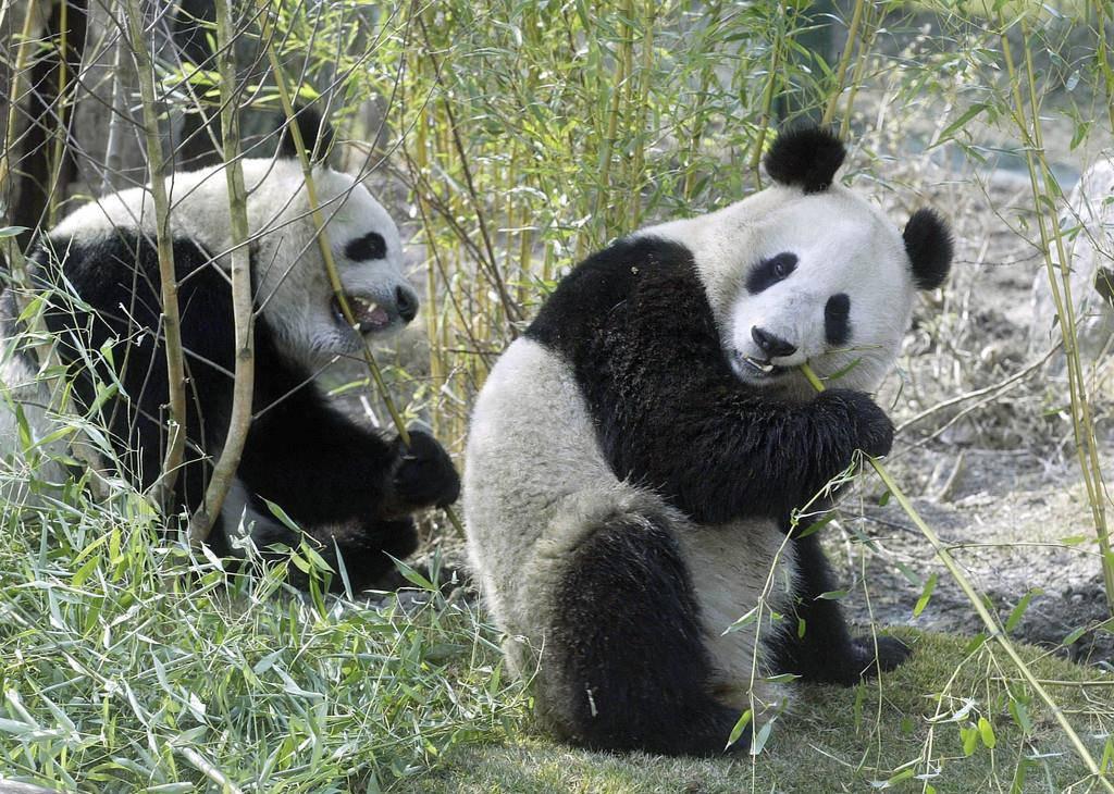 Wiener Panda (© (Keystone))