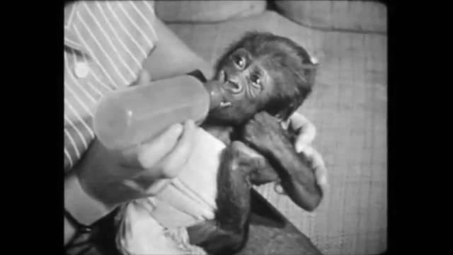 Gorilladame Goma ist im Zoo Basel 58-jährig gestorben