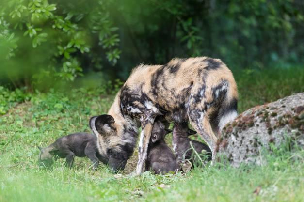 Der Wurf ist im Vergleich eher klein. Afrikanische Wildhund-Mütter bekommen meist 6 bis 16 Junge.
