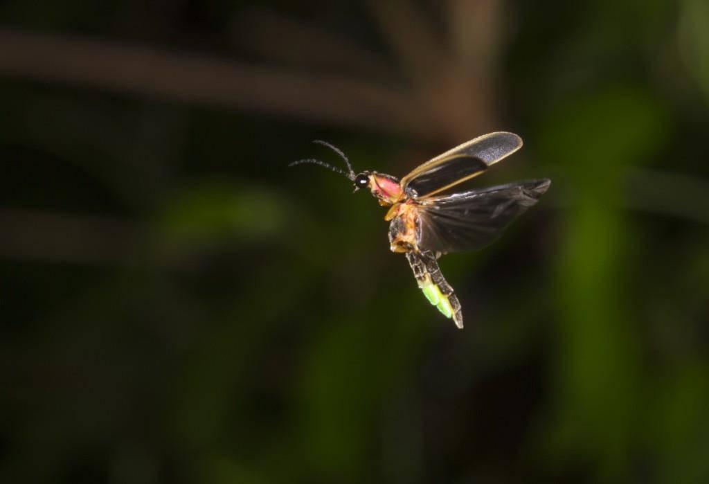 Wann Fliegen Glühwürmchen