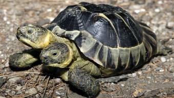 Schildkröte Janus wird 20