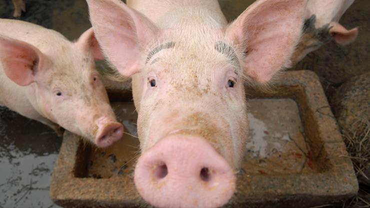 Schweine sind Allesfresser. Unsere Essensreste würden ihnen schmecken und hätten wertvolle Nährstoffe und Eiweisse.stringer/reuters