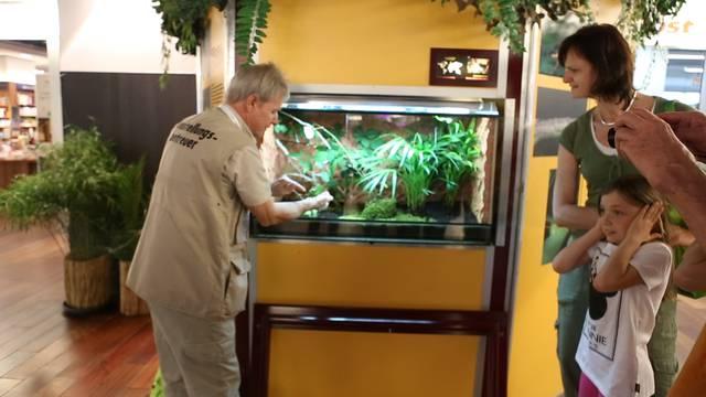 Erst, als der Ausstellungsbetreuer die Riesensichelschrecke wieder ins Terrarium setzen will, beginnt sie zu zirpen – und wie.