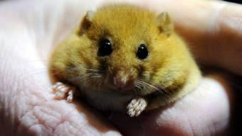 Was empfindet wohl diese Maus? Neugier, Staunen oder gar Angst? Forscher haben gelernt, die Mimik von Mäusen zu lesen, indem sie deren Hirnströme mit gleichzeitigen Veränderungen im Gesicht abglichen. (Symbolbild)