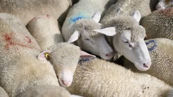 Nach Vorwürfen gegen einen Schafhalter haben die Thurgauer Behörden auf dem Hof eine unangemeldete Kontrolle durchgeführt. (Symbolbild/ KEYSTONE/Gian Ehrenzeller)