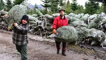 Weihnachtsbaum-Anbau in Härkingen