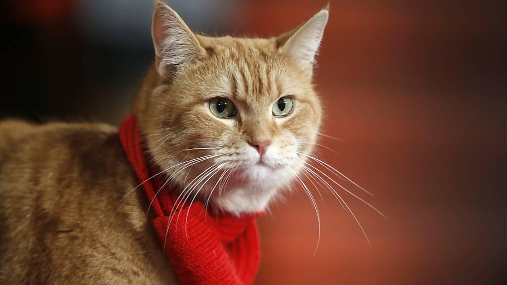 ARCHIV - Katze Bob bei der Premiere des Films «A Street Cat Named Bob». Es war eine Freundschaft, die Millionen Menschen berührte: Nun ist die Straßenkatze Bob gestorben. Das teilte Besitzer James Bowen mit. Foto: Alastair Grant/AP/dpa