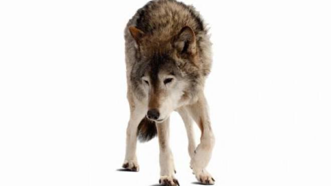 Vom Tourismus als Chance entdeckt: Wolf. Foto: ho