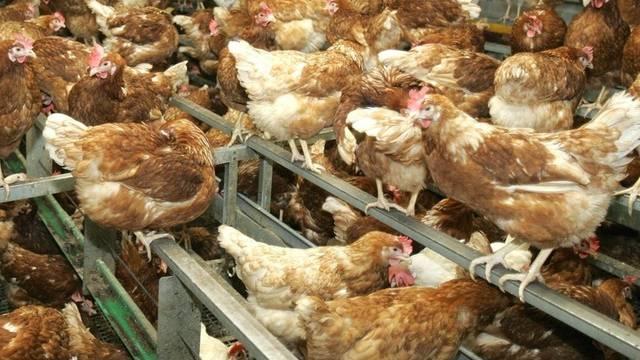 In einem Mastbetrieb in Deutschland sind 117'000 Hühner verendet (Symbolbild)